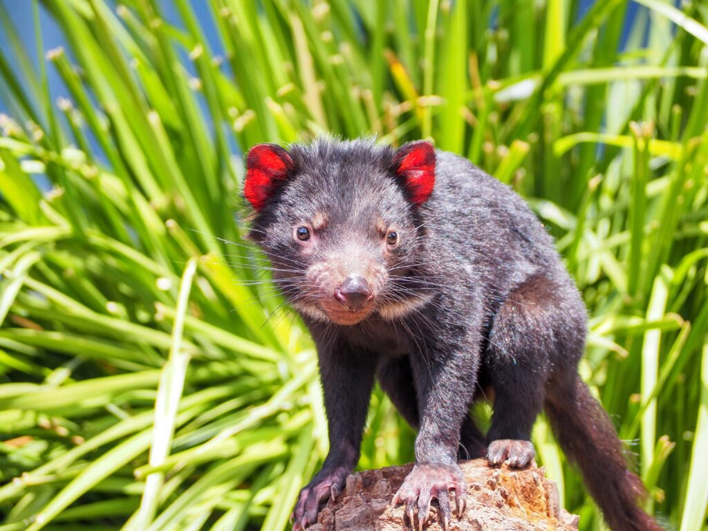 10 Interesting Facts About the Tasmanian Devil That You Must Know 1