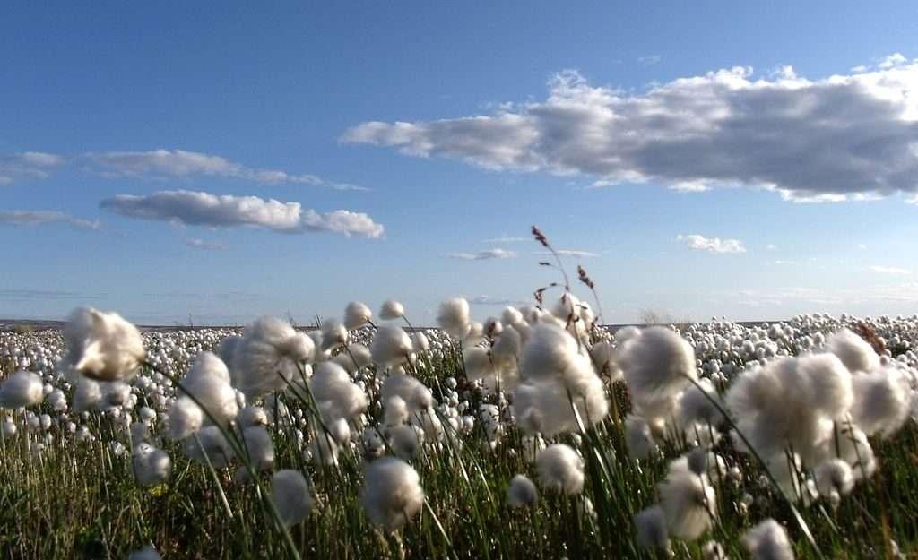 Arctic Cotton at Arviat, Hudson's Bay, Nunavut