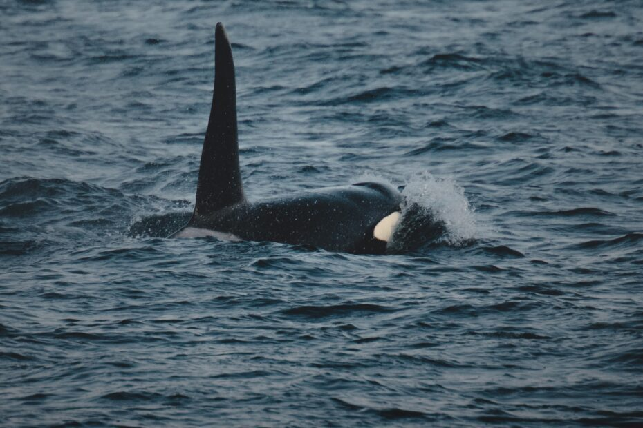 A Guide to Whale Watching Tofino 1