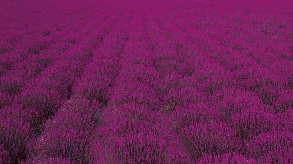 Bloomy view of Lavender farm in Blues Dreamland, Beijing