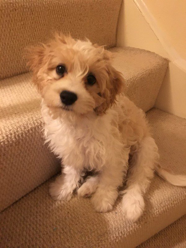 Your Guide to Raising a Cavachon Puppy 2