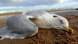 Dead birds fall on the coasts because of marine pollution