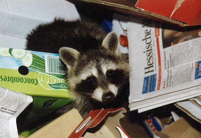 Why Raccoons Nest Inside Homes and What Canadians Can Do About It 1