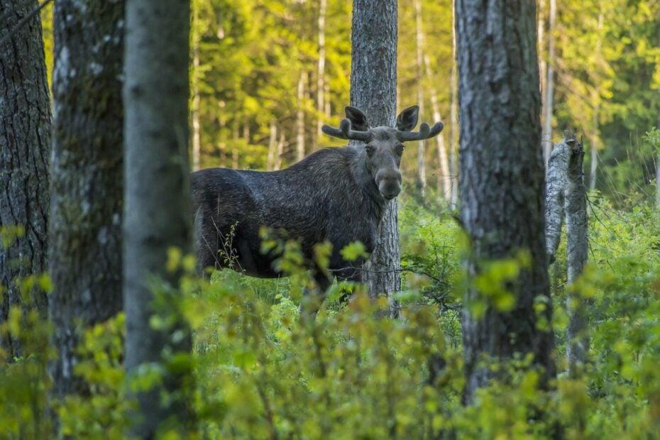 moose hunting ontario